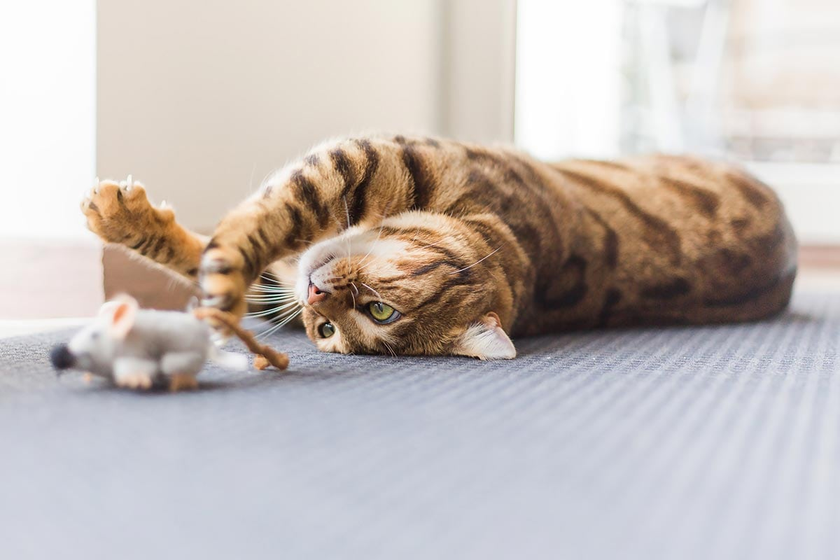a cat's life playing with toys
